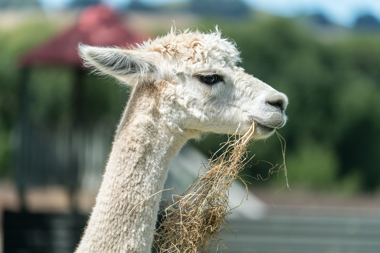 Alpaca ranch.
