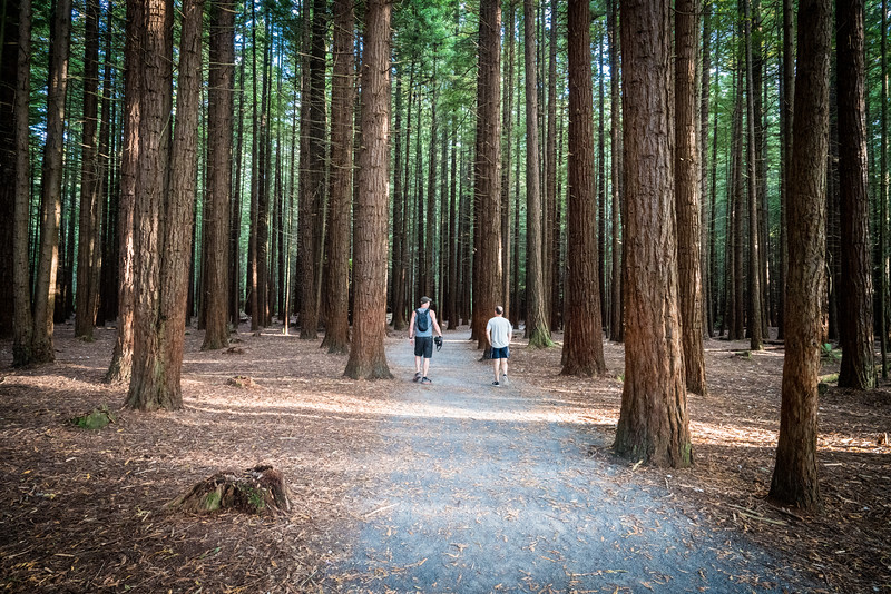 The Whakarewarewa Forest is not native, it was established in 1901 as an experiment to determine what trees would be most suitable to grow in the area. There are many California Redwoods. Now it is a great assest to the Rotorua area, providing an urban oasis.