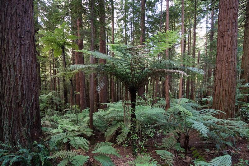 Giant fern trees!