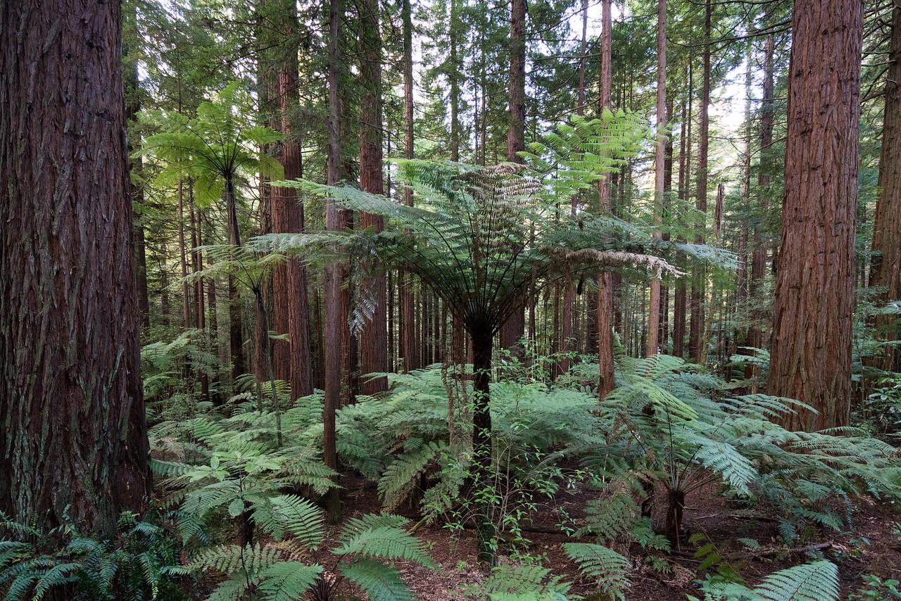 Giant fern trees!