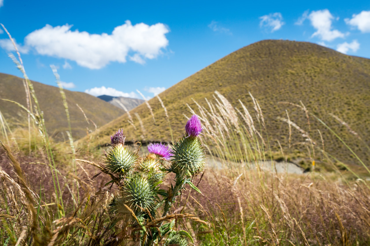 A thistle growing on a brown hillside.