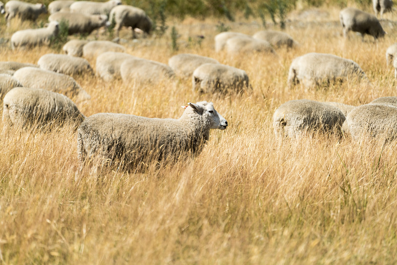 Yes, it is true. There are sheep in New Zealand.