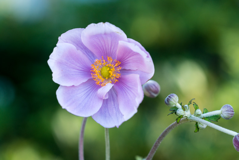 A Windflower in Queenstown Gardens.