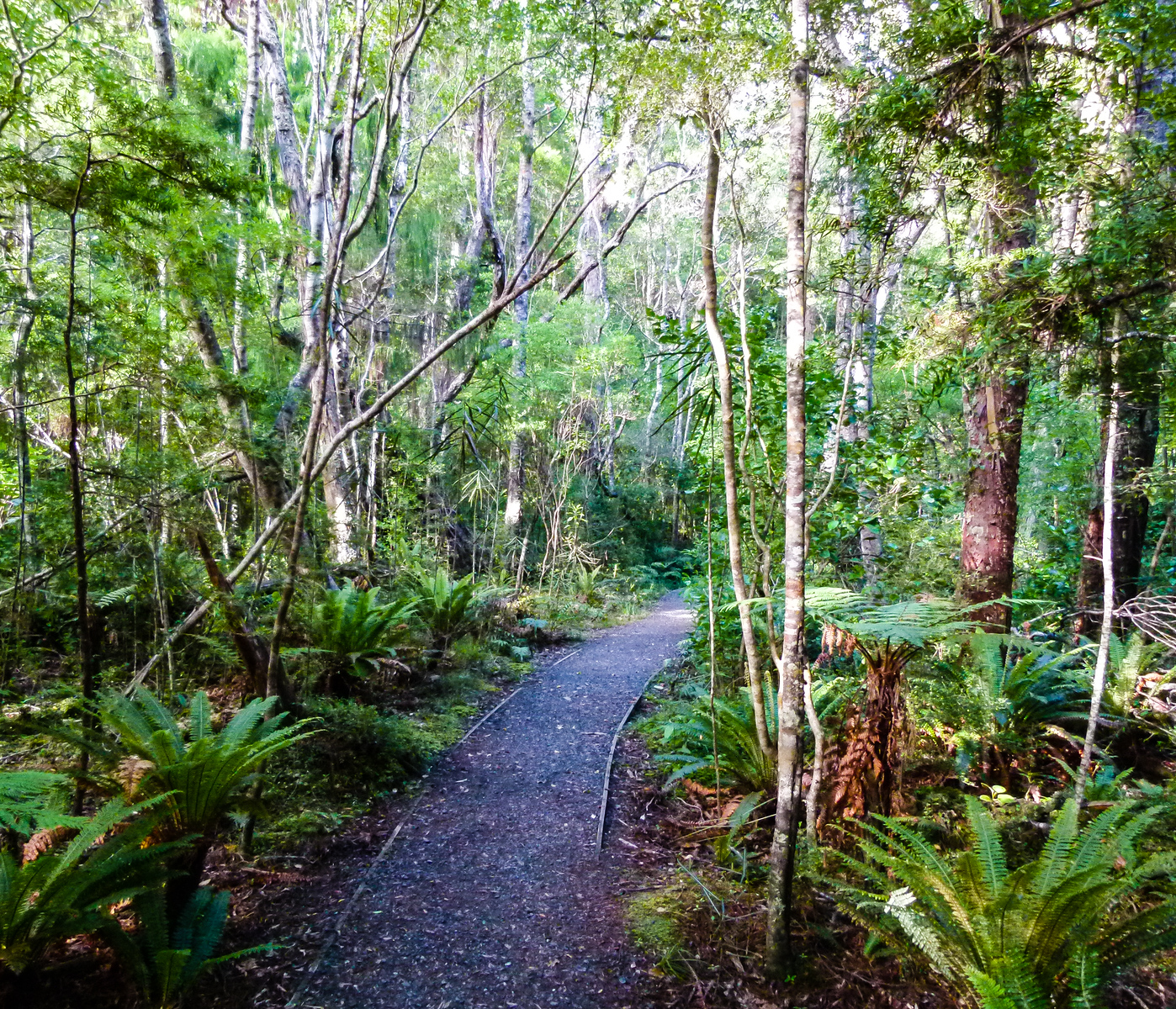 On an Ulva Island guided walk, a path winds through the temperate rainforest thick with an understory of green ferns.