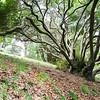 Tree, Albert Park, Auckland