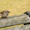 A wee sparrow, Albert Park, Auckland