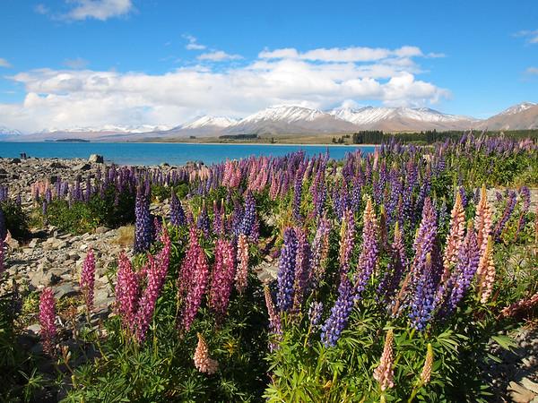 Lupins at Lake Tekapo, New Zealand