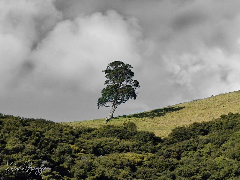 Bay of Island - tree on a hill