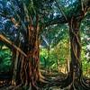 Fig Trees<br /> Uepi Is., Marovo Lagoon, Solomon Islands