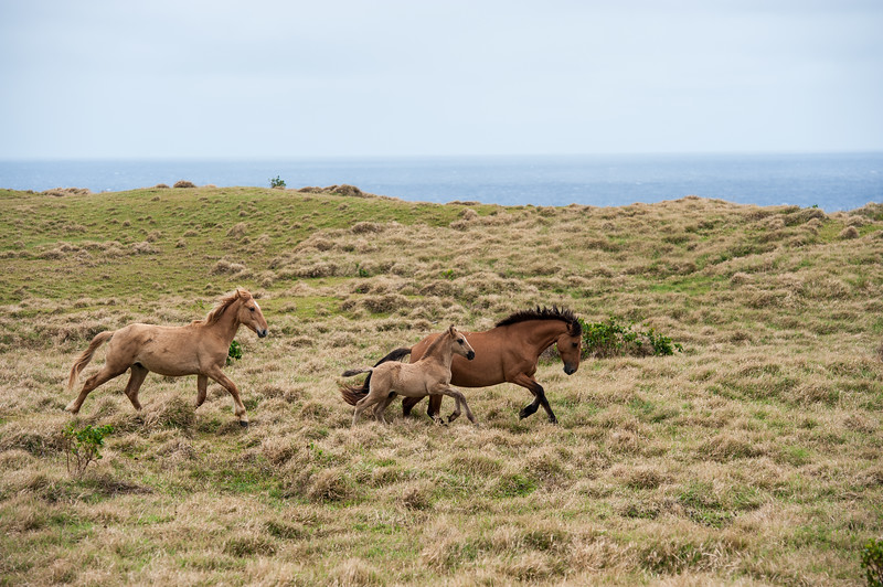 Wild Horses - Eua Is., Tonga