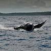 Humpback Whale (Megaptera navaeangliae) - Vavau, Tonga