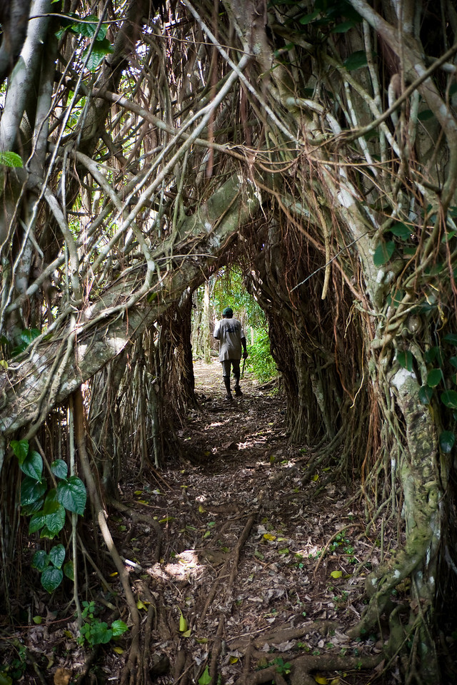 A hiking path cut through the root mass of a Banyan tree.<br /> <br /> Location: Gaua island, Vanuatu<br /> <br /> Lens used: 17-55mm f2.8 IS