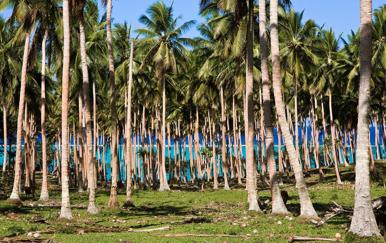 Three distinct shades of blue as seen through a coconut palm grove.  The bottom two are the colors of the deep water outside and the shallow water inside the reef break, respectively.<br /> <br /> Location: Gaua island, Vanuatu<br /> <br /> Lens used: 17-55mm f2.8 IS