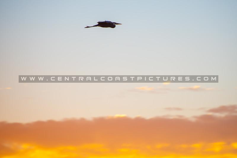 oceano heron sunset 6468