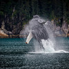 Humpback whale breaching near Seward, Kenai Fiords, Alaska.