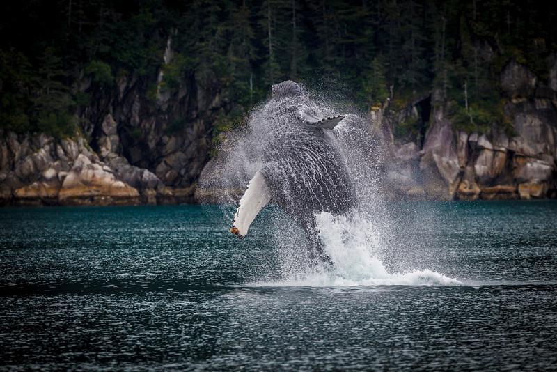 Humpback whale breaching near Seward, Kenai Fiords, Alaska.