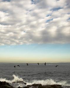 Pelicans, La Jolla Cove, Ca