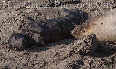 Elephant Seal Mother and New Born Pup Big Sur, California 1401BS-ES13