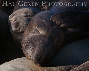 Elephant Seals Big Sur, California 1401BS-ES3