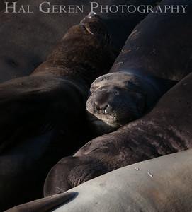 Elephant Seals Big Sur, California 1401BS-ES5