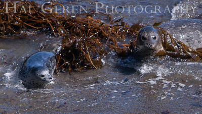 Harbor Seal Mother and Pup Point Lobos, California 1005BS-HSMAP3