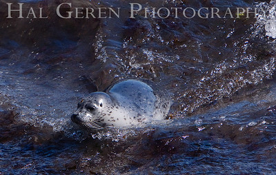 Harbor Seal Pup Point Lobos, California 1005BS-HSP7