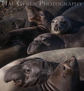 Elephant Seals Big Sur, California 1401BS-ES1