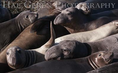 Elephant Seals Big Sur, California 1401BS-ES6