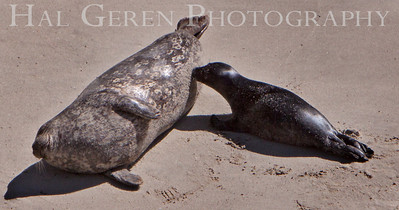 Harbor Seal Mother Nursing her Pup Point Lobos, California 1005BS-HSMAP6