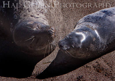 Harbor Seal Mother and Pup Point Lobos, California 1005BS-HSMAP1