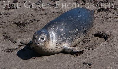 Harbor Seal Pup Point Lobos, California 1005BS-HSP5