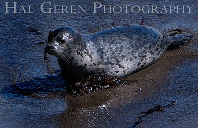 Harbor Seal Pup Point Lobos, California 1005BS-HSP6