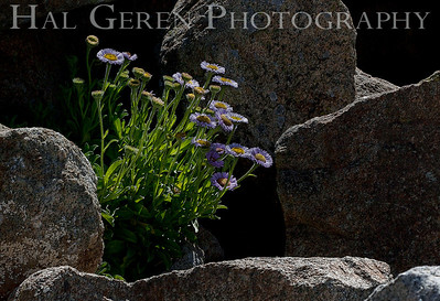 Flowers in the Rocks Big Sur, California 1005BS-F2j