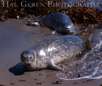 Harbor Seal Mother and Pup Point Lobos, California 1005BS-HSMAP4