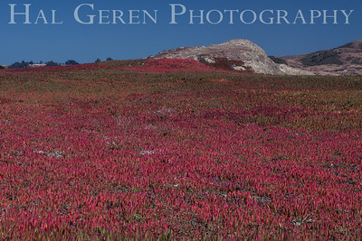 Iceplant in Bloom Bodega Bay, California 1207BB-I1