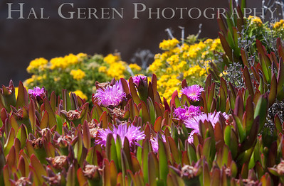 Iceplant and Misc Flowers Garrapata Creek Headlands Big Sur, California 1206BS-F7