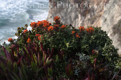 Iceplant and Misc Flowers Garrapata Creek Headlands Big Sur, California 1206BS-F12