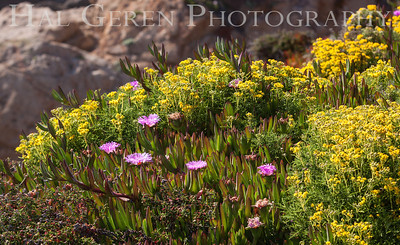 Iceplant and Misc Flowers Garrapata Creek Headlands Big Sur, California 1206BS-F8