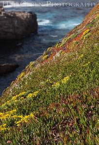 Iceplant  Garrapata Creek Headlands Big Sur, California 1206BS-F13