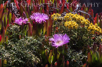 Iceplant and Misc Flowers Garrapata Creek Headlands Big Sur, California 1206BS-F1