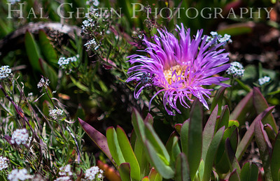 Iceplant and Misc Flowers Garrapata Creek Headlands Big Sur, California 1206BS-F14E3