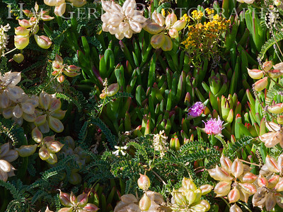 Iceplant and Misc Flowers Garrapata Creek Headlands Big Sur, California 1206BS-F17E1