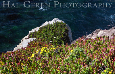 Iceplant  Garrapata Creek Headlands Big Sur, California 1206BS-F15E1