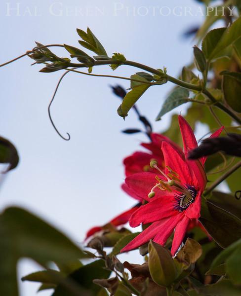Passion Flower<br /> Bodega Bay, California<br /> 1401BB-F4