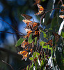 Monarch Butterflies<br /> Natural Bridges State Park, California<br /> 1211SC-B4