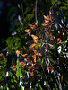 Monarch Butterflies<br /> Natural Bridges State Park, California<br /> 1211SC-B3