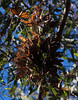Monarch Butterflies<br /> Natural Bridges State Park, California<br /> 1211SC-B11