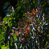 Monarch Butterflies<br /> Natural Bridges State Park, California<br /> 1211SC-B9E1