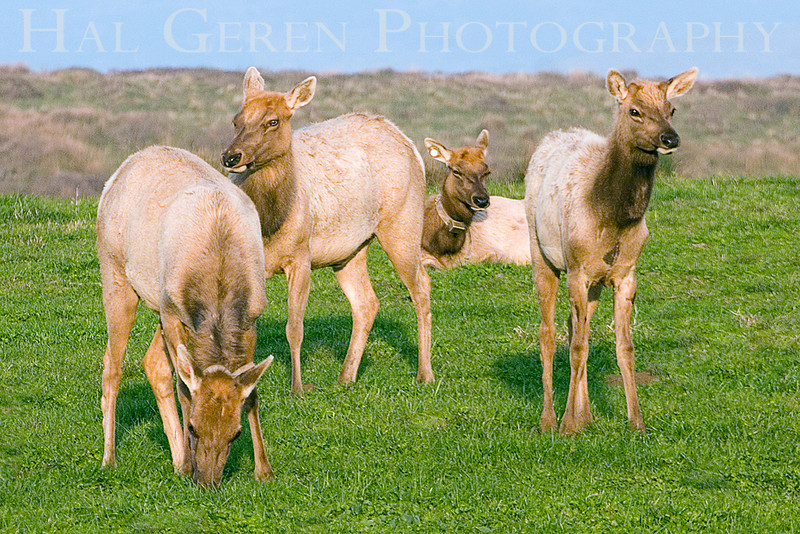 wild Tule Elk Group 4