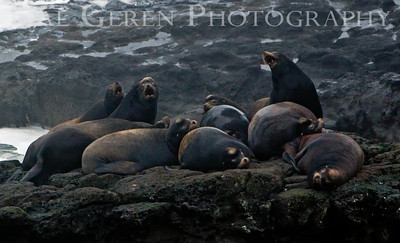 Sea Lions at Cape Arago, Oregon 0912O-SLACA1A